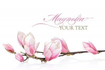 Fototapeta Magnolia květina na bílém pozadí