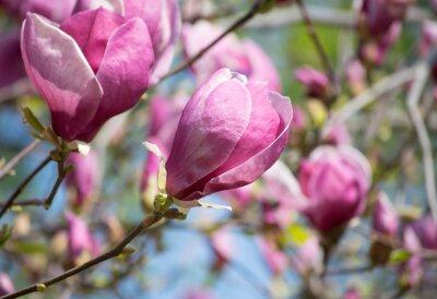 Fototapeta Magnolia květiny