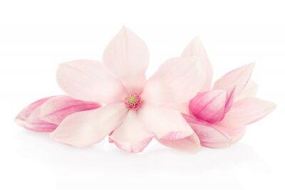 Fototapeta Magnolia, růžové květy a poupata skupina na bílém, ořezové cesty