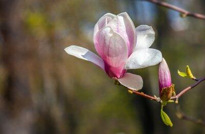 Fototapeta magnolie květina.