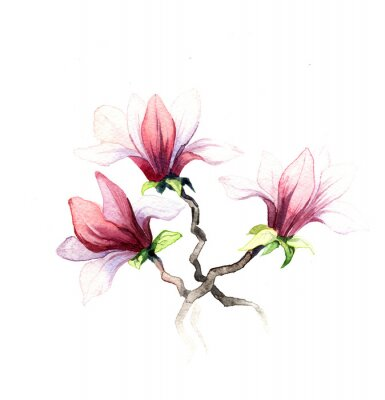 Fototapeta magnólie květiny akvarel na bílém pozadí