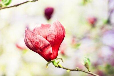 Fototapeta magnolie strom květ