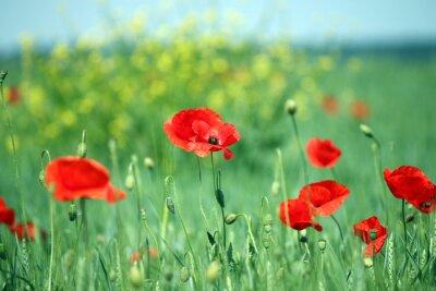 Fototapeta mák květina krajiny jarní sezóny