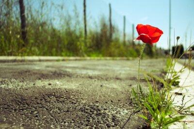 Fototapeta Mák květiny v betonu: Síla pojetí života