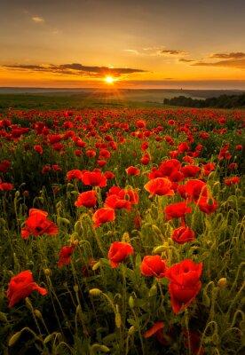 Fototapeta Maková pole při západu slunce