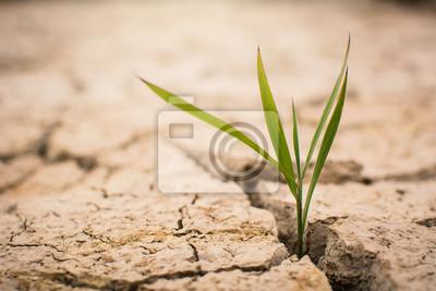 Fototapeta Malá zelená rostlina na suchém suchém terénu, koncept sucha