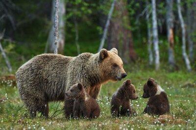 Fototapeta Matka medvěd a mláďata