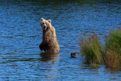 Fototapeta Matka medvěd hnědý se ohlíží zpět ke kontrole na svá mláďata při přechodu Brooks River, Národní park katmai, Alaska