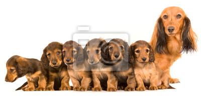 Matka psi a štěňata plemene jezevčík fototapeta • fototapety jezevec ... d103dfd98a