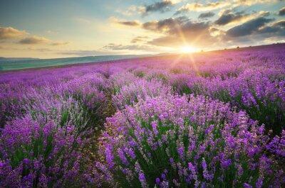 Fototapeta Meadow of lavender.