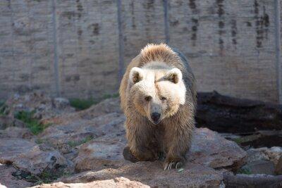 Fototapeta Medvěd hnědý