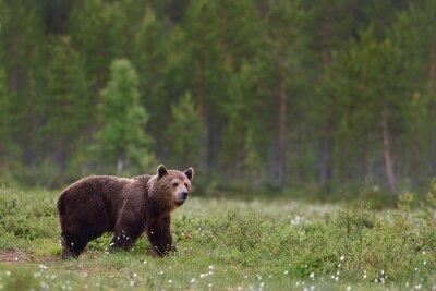 Fototapeta medvěd hnědý s lesním pozadí