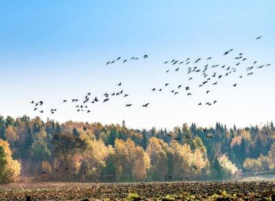 Fototapeta migrace kanadské husy