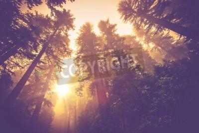 Fototapeta Misty Forest Trail. Magie Redwood Forest Krajina v teplém Vintage barevné korekce.