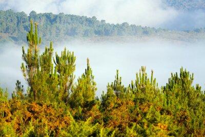 Fototapeta Misty krajina s borovým lesem