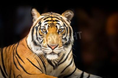 Fototapeta Mladý sibiřský tygr na tmavém pozadí v akci se dívat do kamery