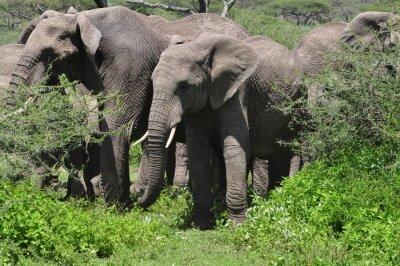 Fototapeta Mladý slon africký ve stádě