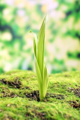 Fototapeta Mladý výhonek na jaře, detailní