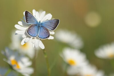Fototapeta Modrásek Butterfly