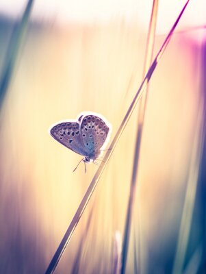 Fototapeta Modrý motýl na trávě