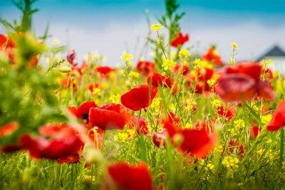 Fototapeta Mohnblumen - Poppy Field