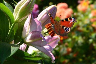 Fototapeta motýl 188
