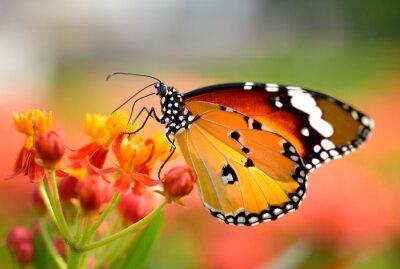Fototapeta Motýl na květu pomeranče v zahradě