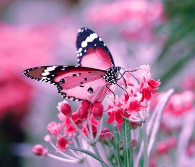 Fototapeta Motýl na pomerančový květ