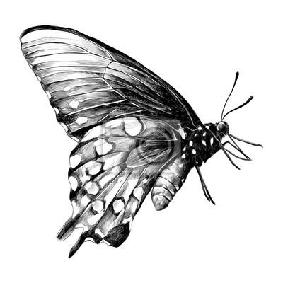 Motyl Nacrtek Vektorove Grafiky Cerne A Bile Kresby Fototapeta