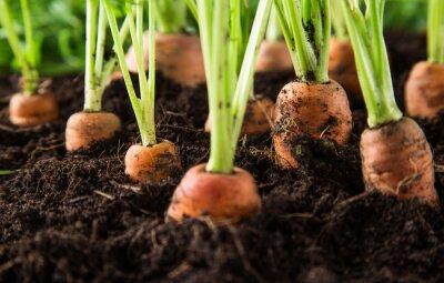 Fototapeta mrkev na zahradě
