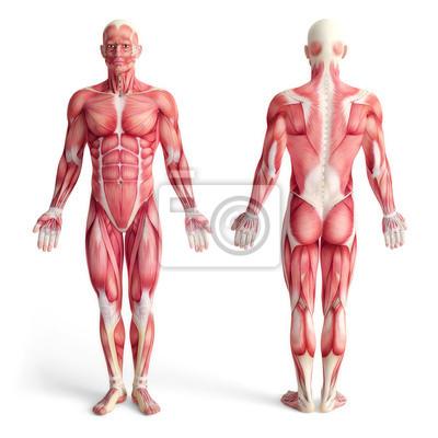 Fototapeta Muž anatomie pohybového aparátu - přední a zadní pohled