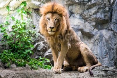 Fototapeta Muž lev, kterým se na skále