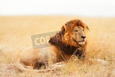 Fototapeta Muž lev ležící v trávě při západu slunce v Masai Mara v Keni