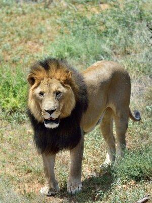 Fototapeta Muž lev, Namibie