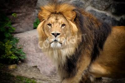 Fototapeta Muž lev vyhlíží na vrcholu skalnatého výběžku.