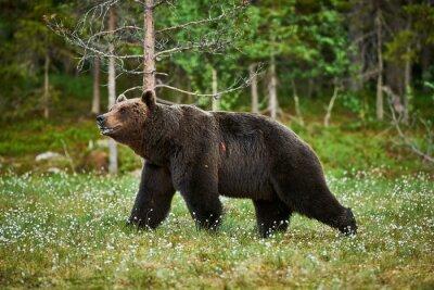 Fototapeta Muž medvěd hnědý