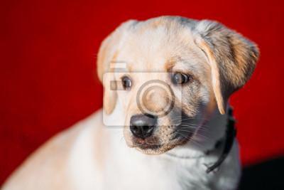 2f48e3f1e9c Fototapeta  Nádherný bílý pes lab labradorský retrívr štěně štěněte whelp