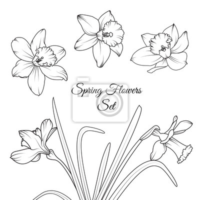 Narcissus Narcis Jarni Kvetiny K Opakovanemu Pouziti Izolovane