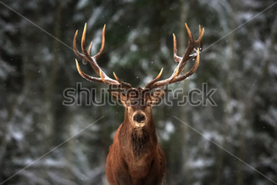 Fototapeta Noble deer male in winter snow forest.