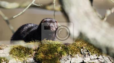 Fototapeta Norek americký   Norek   Amerikanischer Nerz (Neovison vison) 24a4ba65bc