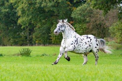 Fototapeta Norický kůň