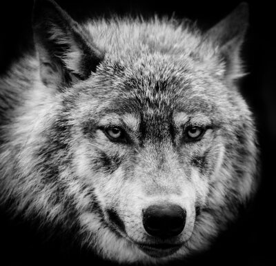 Fototapeta Oči vlka, černé a bílé hlavou střílel z vlka.