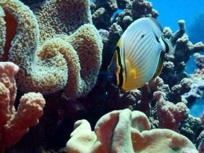 Fototapeta Okoun butterflyfish (Chaetodon lunuqlatus)