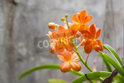 Fototapeta Oranžové květiny orchideje