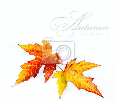 oranžové podzimní mokré javorový list na bílém pozadí