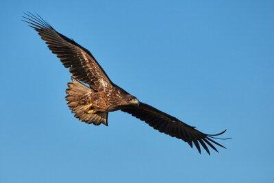 Fototapeta Orel v letu