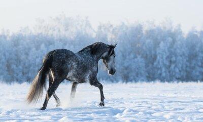 Fototapeta Osamělý kůň chodí na poli