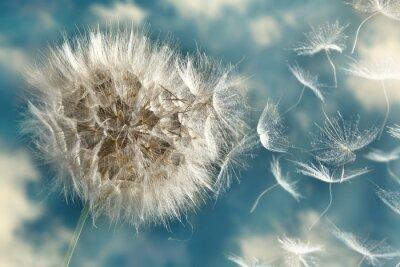 Fototapeta Pampeliška Loosing Semena ve větru