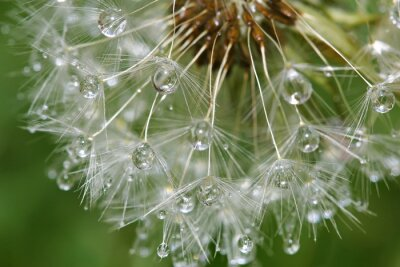 Fototapeta Pampeliška po dešti