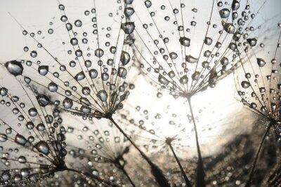 Fototapeta Pampeliška semena s kapkami rosy